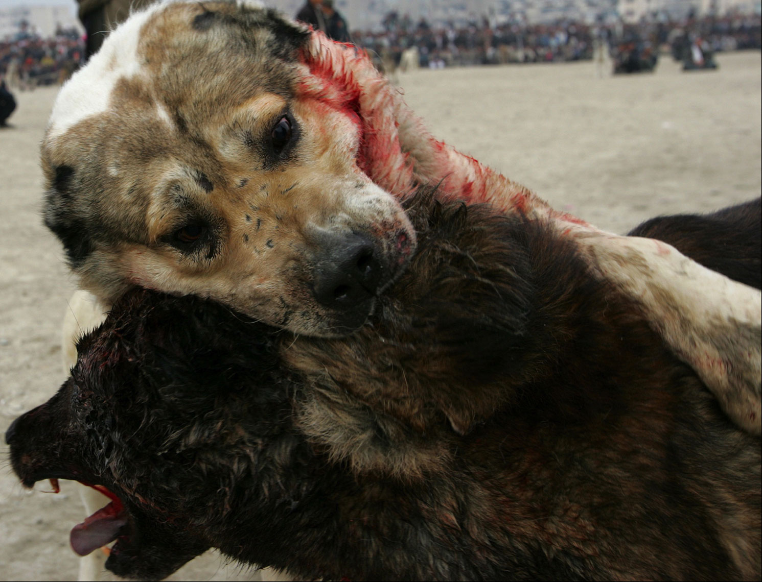 Dog-Fighting-Afghanistan004