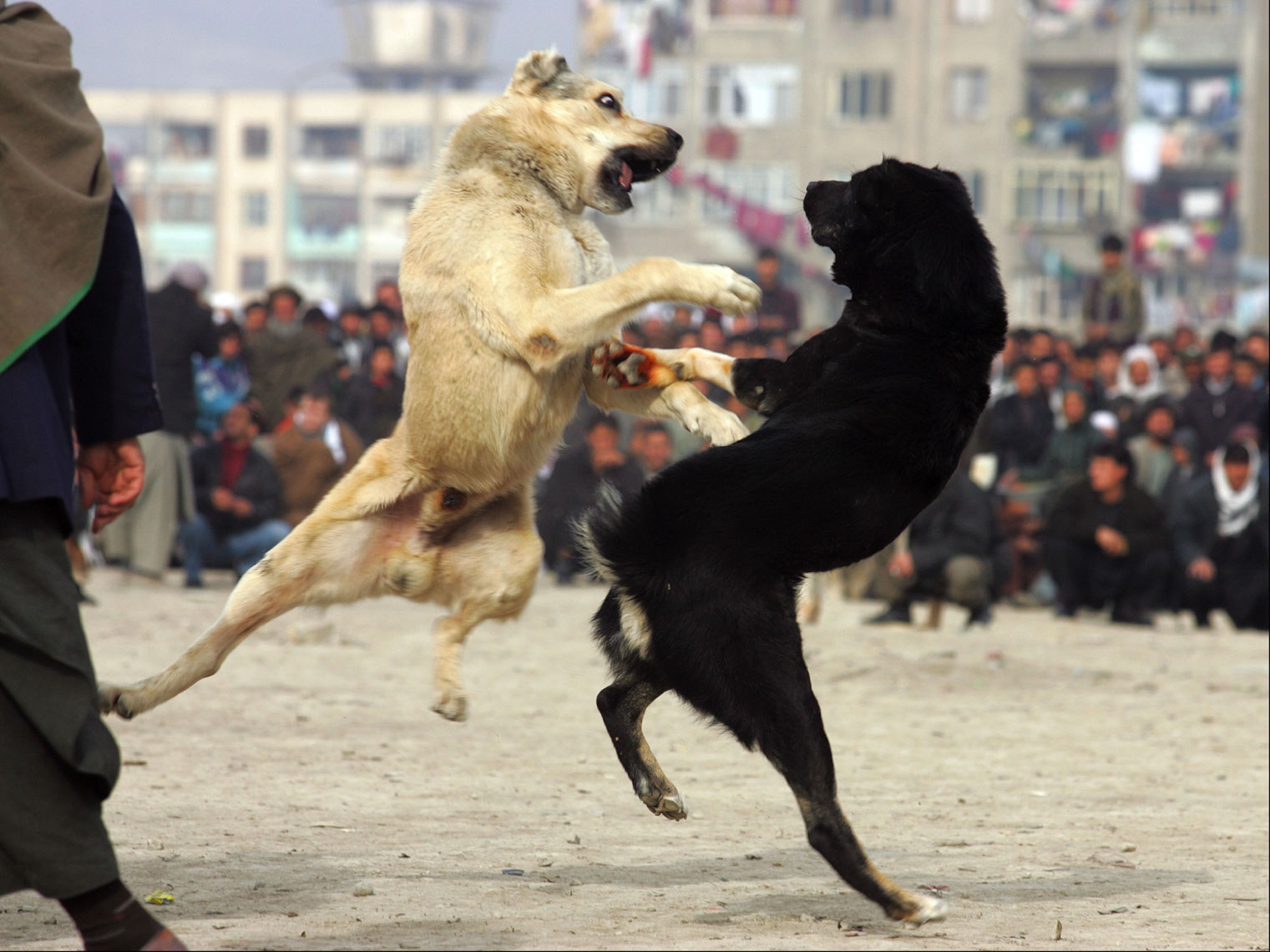 Dog-Fighting-Afghanistan008