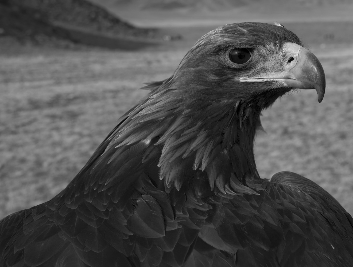 Hunting-with-Eagles-Final-Edit-TIFF77